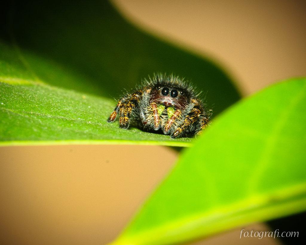 Jumping Spider Peekaboo