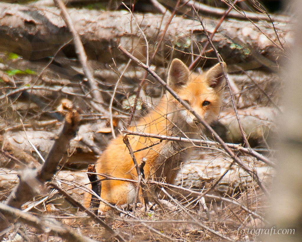 Shy Fox in Felled Trees