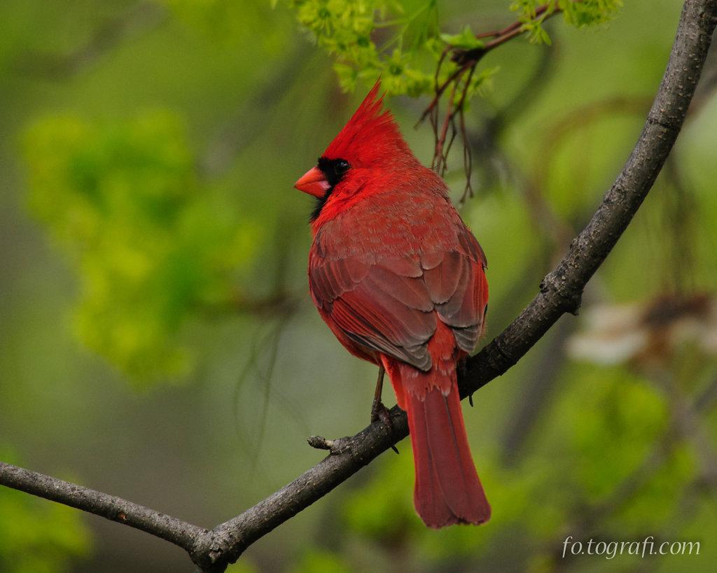 Cardinal Looking Back