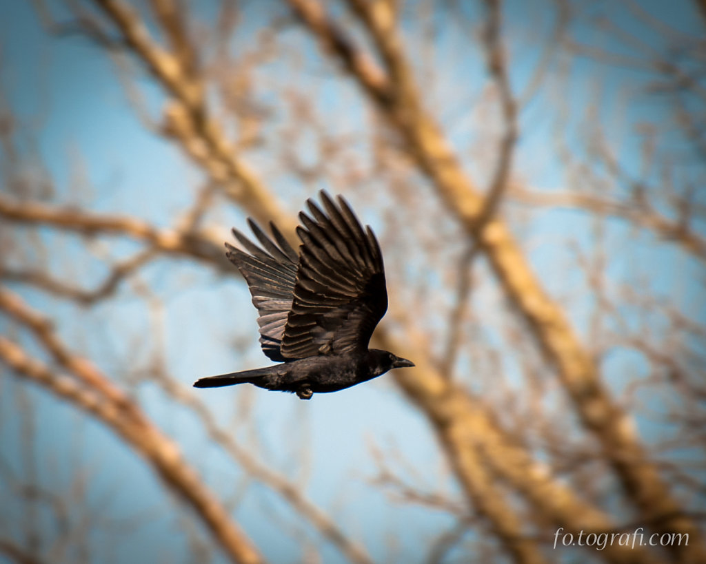 Crow in the Trees