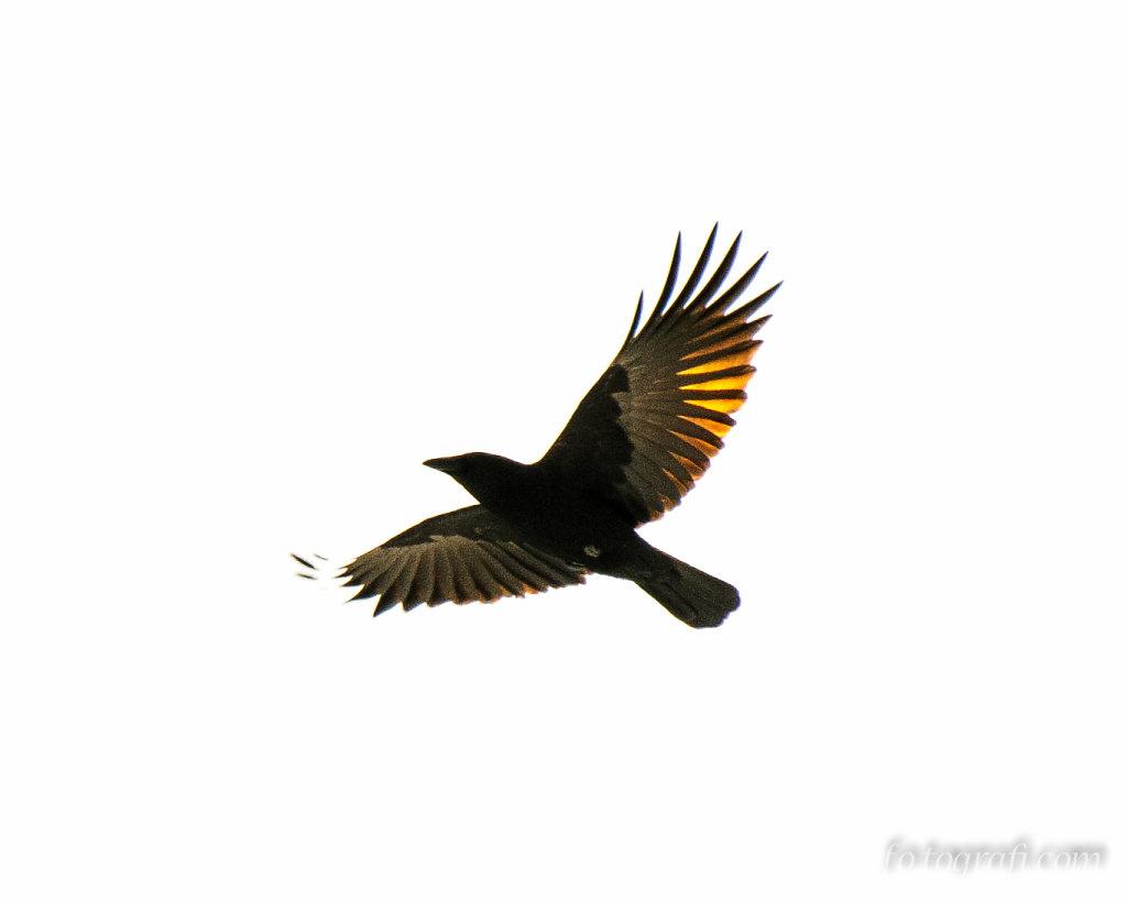 Burning Crow