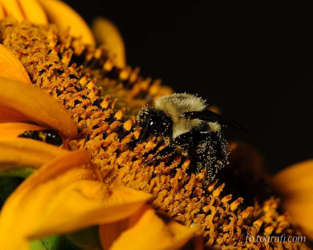 Pollen Encrusted Bee on Sunflower