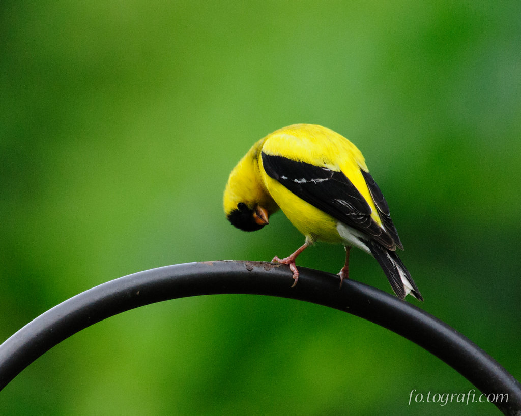Goldfinch Peering Upsidedown