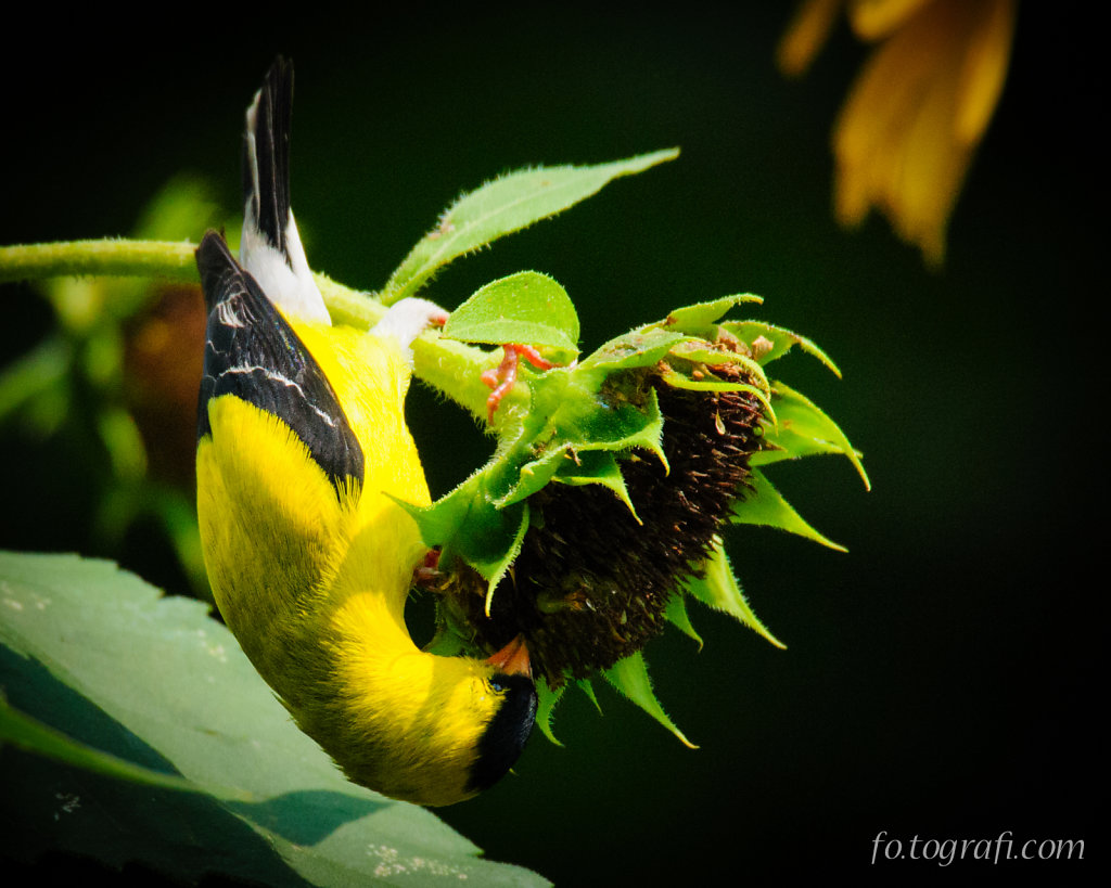 Reaching Finch