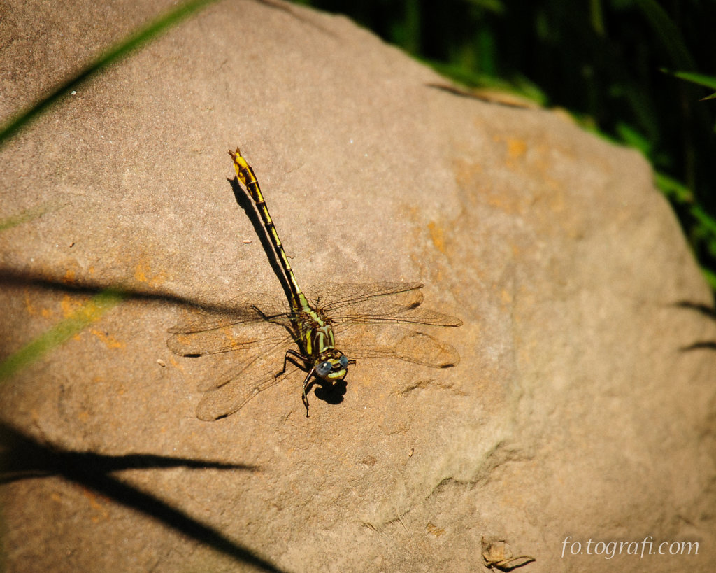 Yellow Dragonfly on a Rock