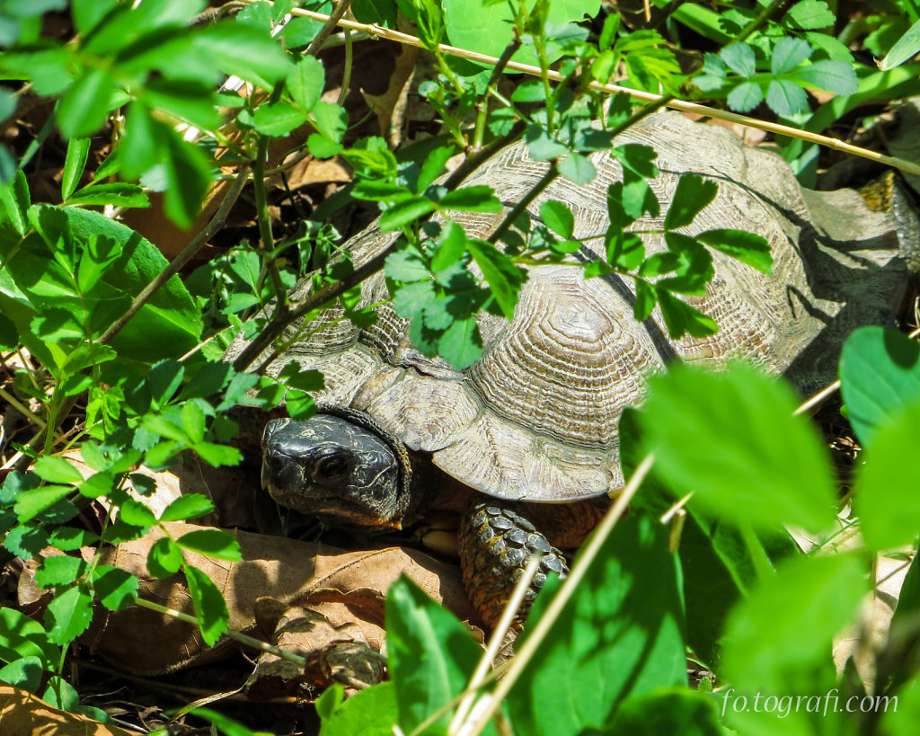 Turtle Hiding in the Brush