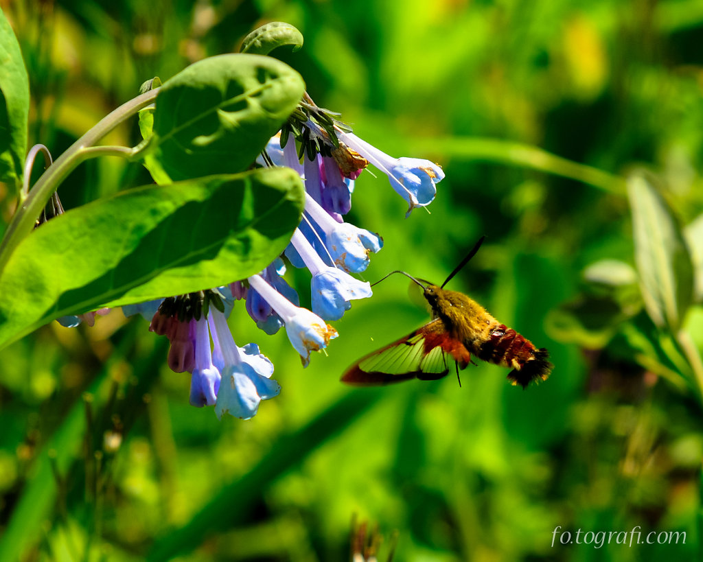 Hummingbird Moth and Bluebells
