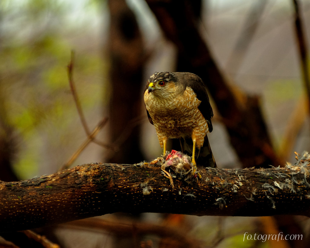 Sharp Shinned Hawk Eating