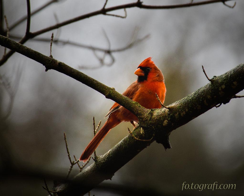Winter Cardinal 2016