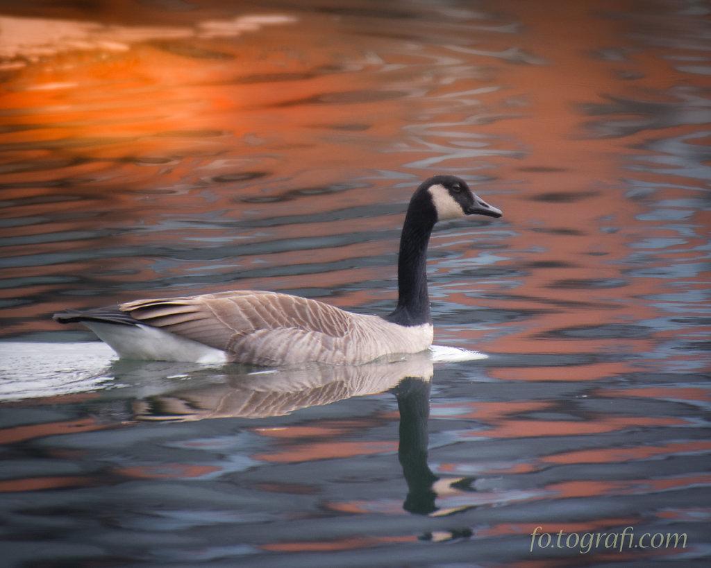 Duck. Duck. Goose.