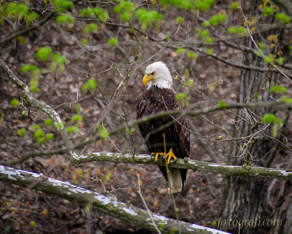 Bald Eagle Fishing at ACMs Track